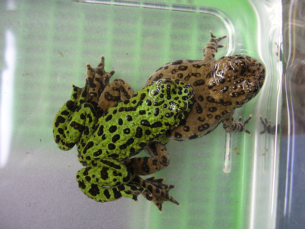 Oriental Fire-bellied Toad (Bombina orientalis)