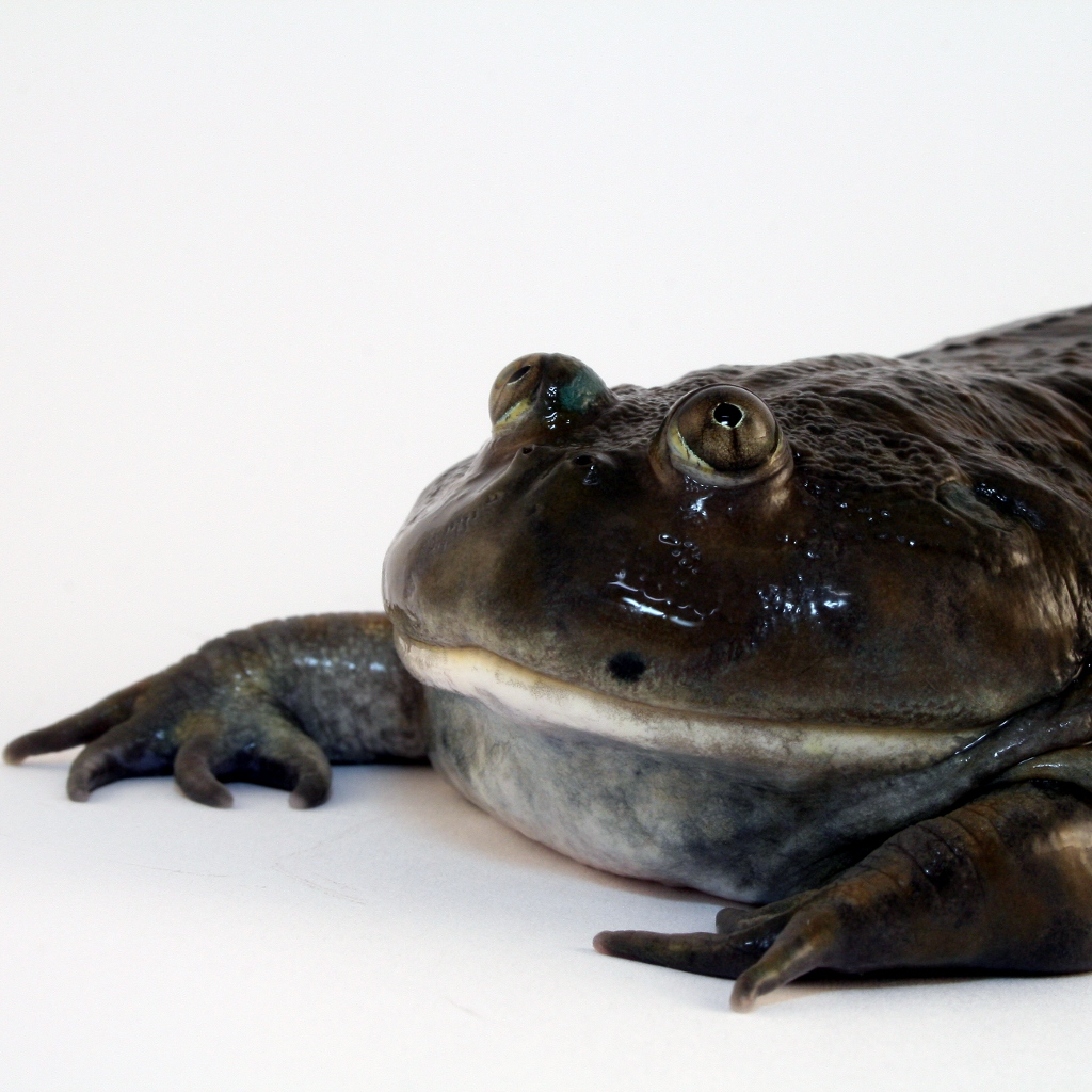 Captive Care of the Budgett's Frog (Lepidobatrachus laevis)